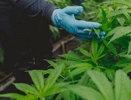 Se agita debate por legalización del consumo de  marihuana
